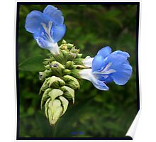 Emerging Blue Salvia Poster