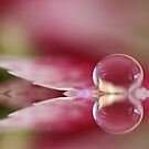 Dianthus Droplet by Kymie