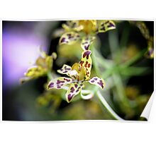 Spotted Orchids Poster
