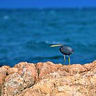 Eastern Reef Egret Dark Morph by Janette Rodgers