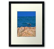 Eastern Reef Egret Dark Morph Framed Print