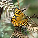 Heteronympha Merope (Common Brown Butterfly) by Robert Jenner