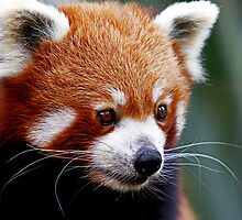 Curious Red Panda by JulieM