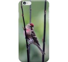 Resting Redpoll iPhone Case/Skin