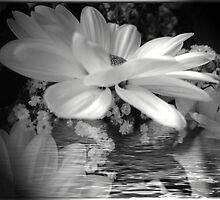 daisies in the spotlight by Joyce Knorz