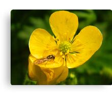 Buttercup with Hoverfly Canvas Print