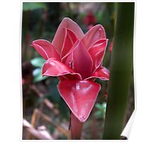 Unfolding (Red Torch Ginger) Poster