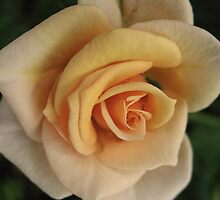 Apricot Surprise Rose by MarianBendeth
