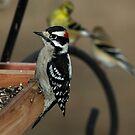 Downy Woodpecker by Dennis Jones - CameraView