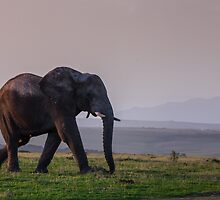 Elephant walking off into the sunset by Fiona Ayerst