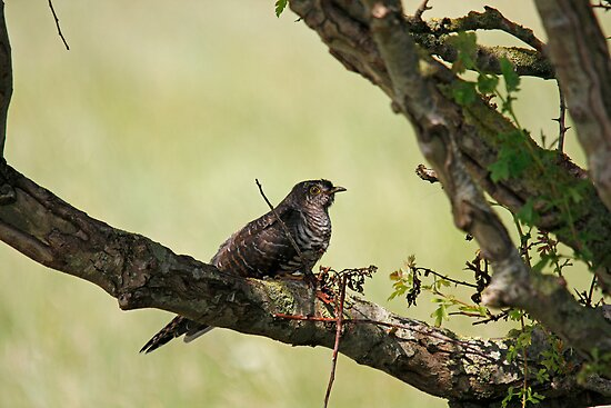 Common Cuckoo by Jon Lees