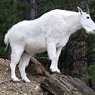 Mountain goat by Sviatlana