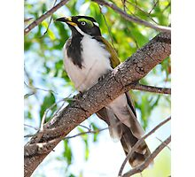''Juvenile Blue-faced Honeyeater'' Photographic Print