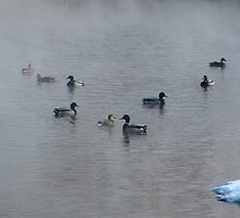 Mallards In The Mist by swaby