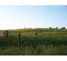 Cows in the field Photographic Print