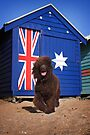Aussie Irish Water Spaniel by Helen Green
