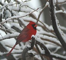 cardinal by Kathy Newton
