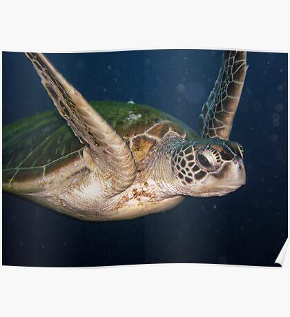 Giant Turtle - Sipidan Poster