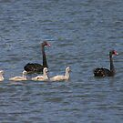 Black swan family by Christine Beswick
