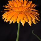 Orange Flower by funkybunch