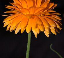Orange Flower by funkybunch