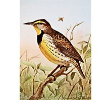 Meadowlark Bird Photographic Print