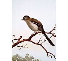 Mockingbird Vintage Illustration Photographic Print