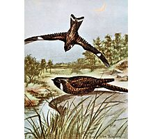 Nighthawk and Whippoorwill Photographic Print