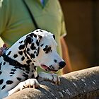 Dalmatian watching over a wall by Dave  Knowles