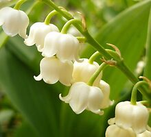 White Bells by Vicki Spindler (VHS Photography)
