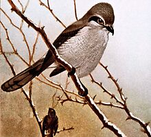 Northern Shrike Bird by goldenmenagerie