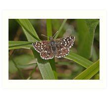 Grizzled Skipper butterfly Art Print