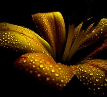 Golden Lily. by Vitta