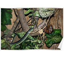 Boomslang - Tree Snake Poster