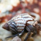 Hermit Crab in Macro by Allen Lucas