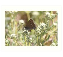 Blue-spot Hairstreak butterfly Art Print