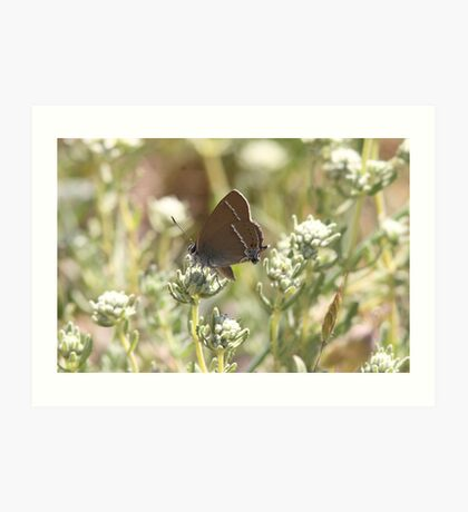 Blue-spot Hairstreak butterfly Art Print