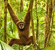 Lar Gibbon by Nickolay Stanev