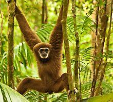 Lar Gibbon by Nickolay Stanev