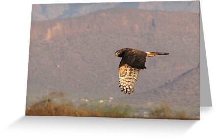 Northern Harrier II by Kimberly Chadwick
