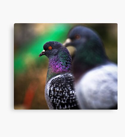 Stock Dove Canvas Print