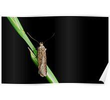 Bryotropha sp. Moth on grass Poster