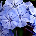 Petals of Blue by Betsy  Seeton