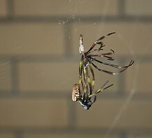 Spider shedding its Skin by S S