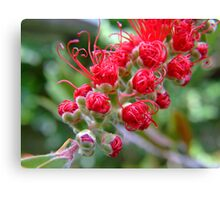 Bottle Brush (Callistemon) Canvas Print
