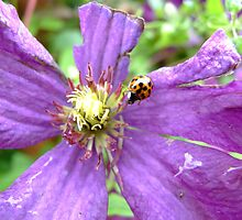 Clematis and ladybird  by James  Smart