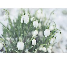 Snowdrops in the snow Photographic Print