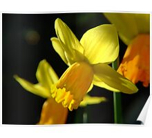 Spring Daffodil  Poster