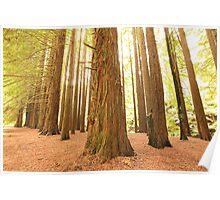 Californian Redwoods, Otways National Park, Australia Poster
