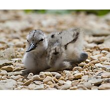 Avocet Chick.. Photographic Print